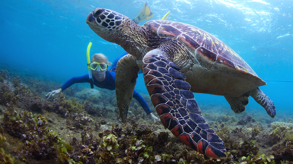 Snorkeling with turle
